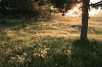 Fleur Du Lis