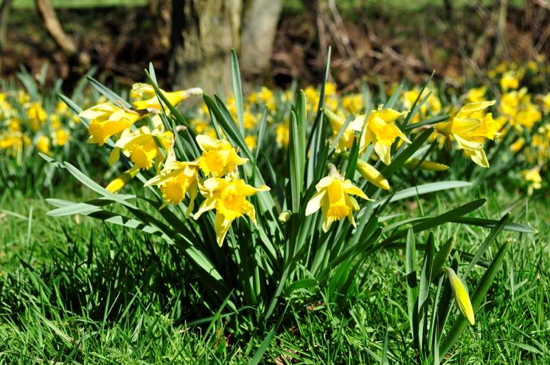 Face-to-face with the Farndale daffs