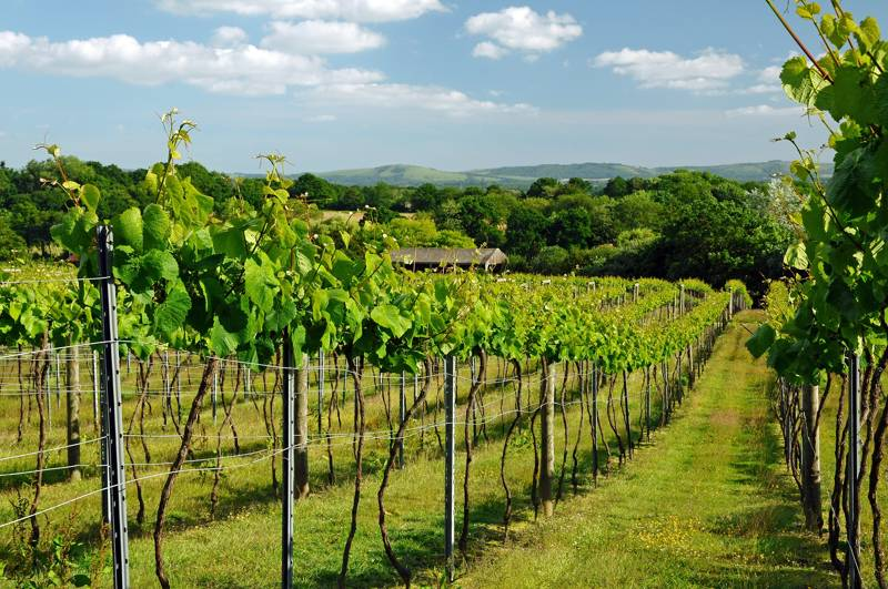 The Best English Wine and Vineyards