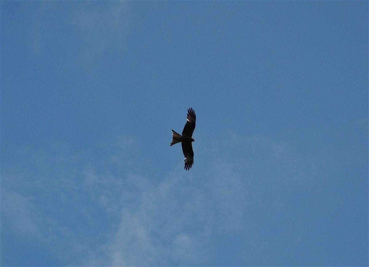 Red kites at Watlington Hill