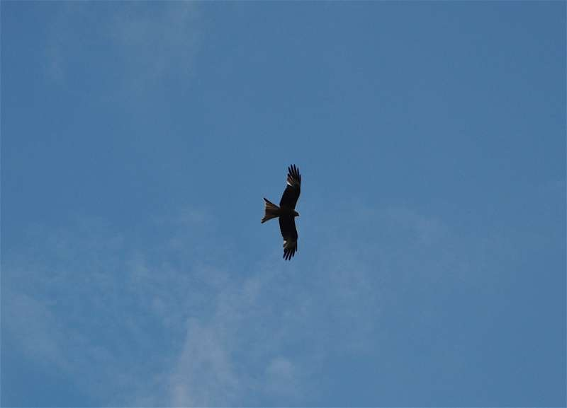Red kites at Watlington Hill
