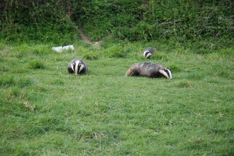Dorset Badger Watch