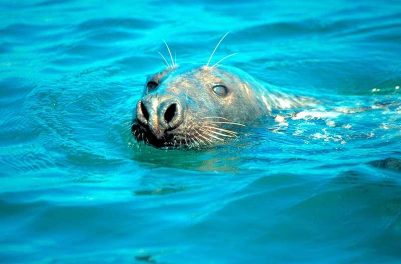 Pembrokeshire's grey seals