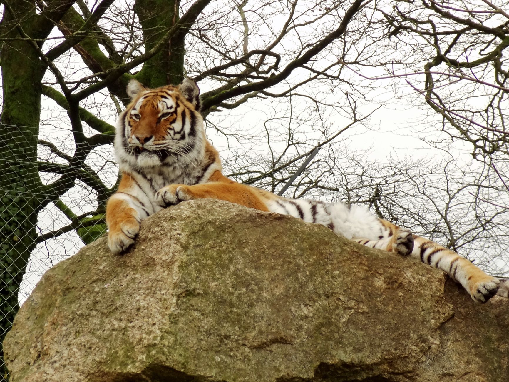 Tiger at Dartmoor Zoo